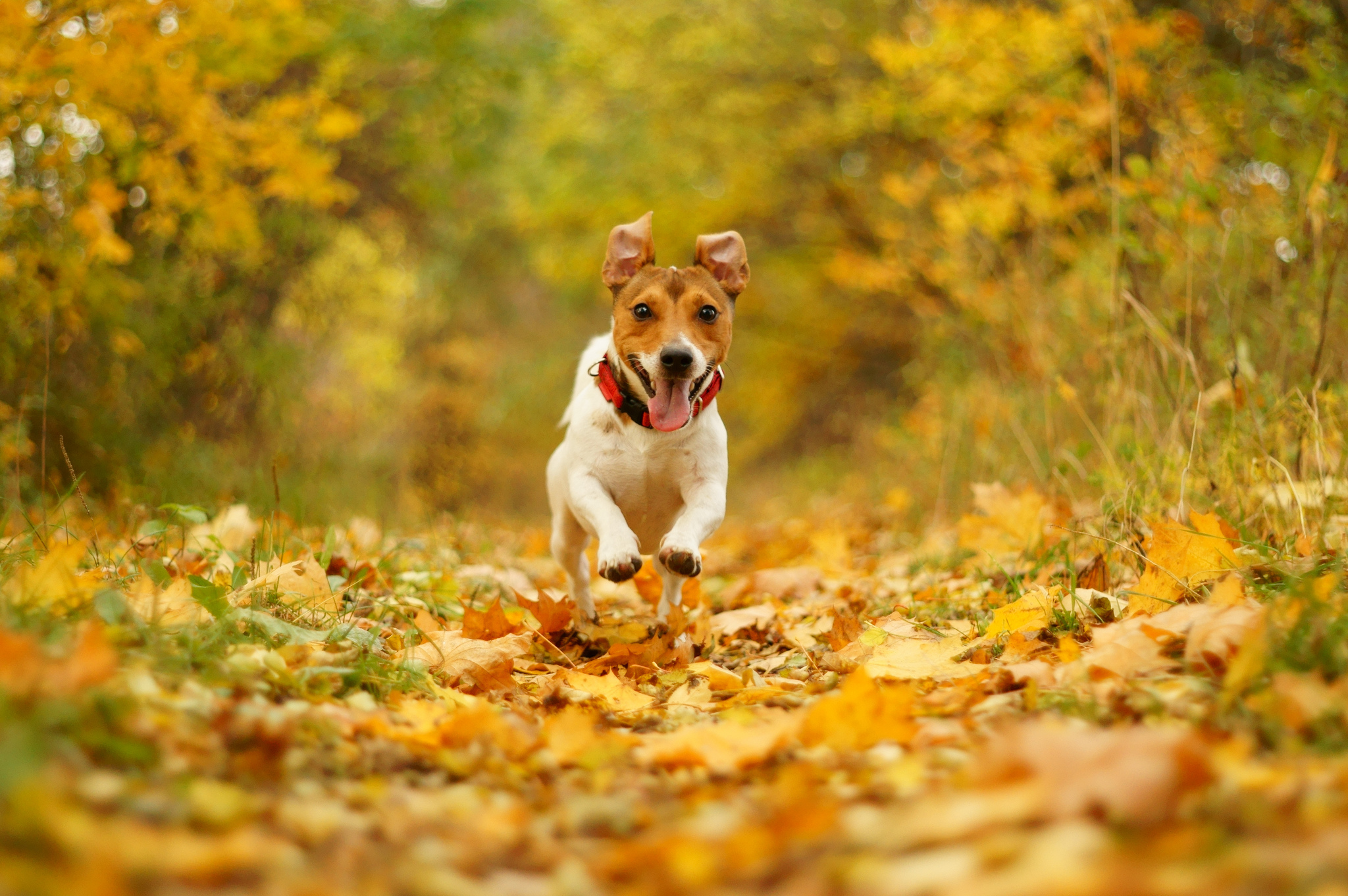 Free Fall Wallpaper For Android Jack Russel Hd Wallpapers