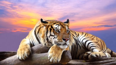 Tiger HD Wallpapers