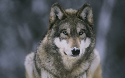 Wolf HD Wallpapers