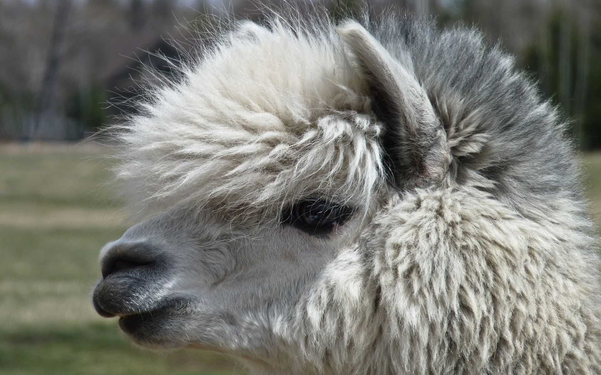 Completely Girls Wallpapers Alpaca Wallpapers Backgrounds