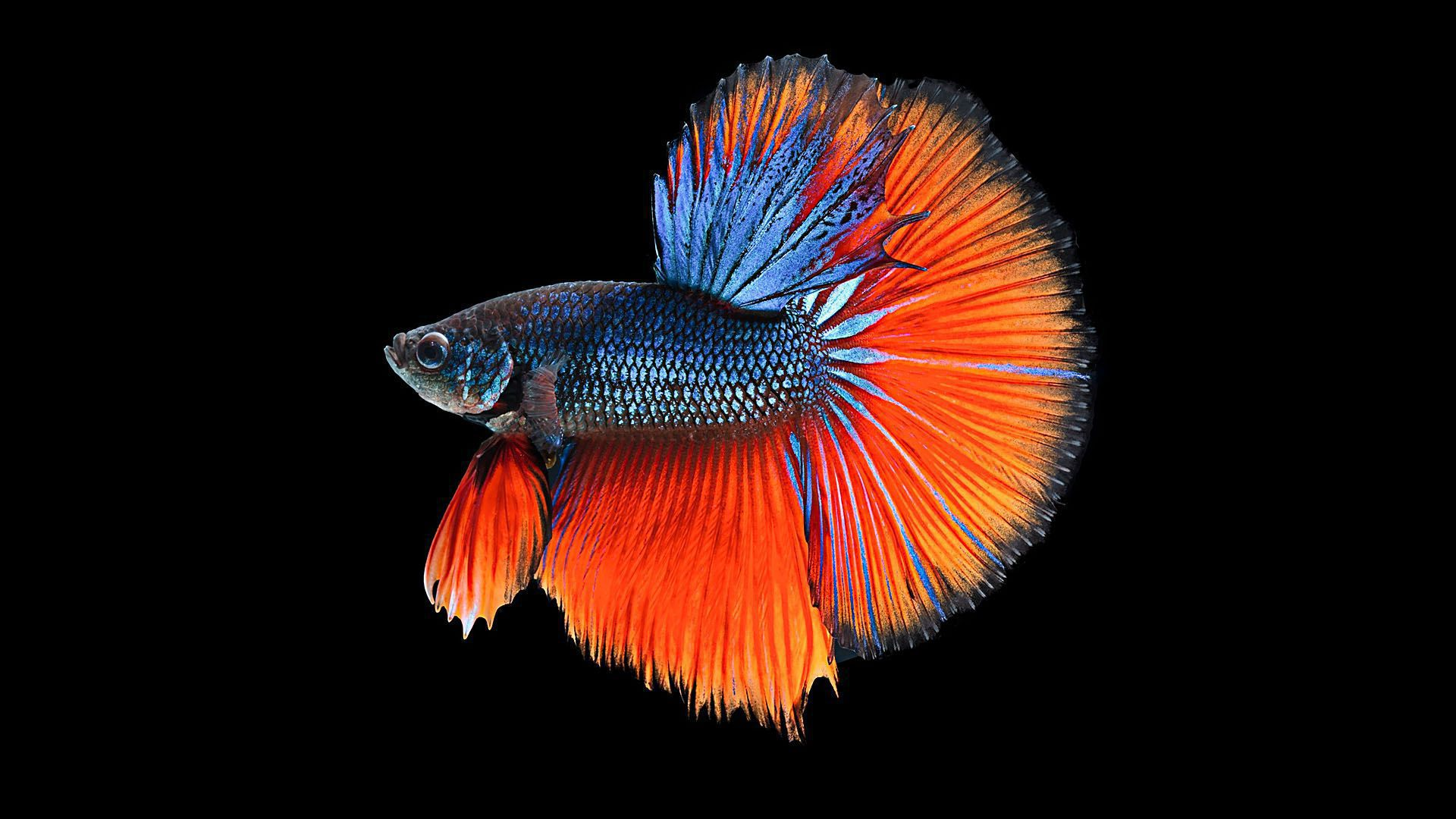 Fighter Fish Hd Wallpaper Download Betta Wallpapers Backgrounds