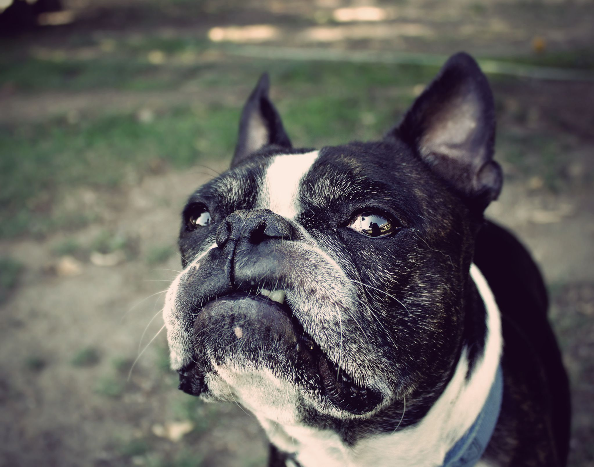 Best Looking Cars Wallpapers Boston Terrier Wallpapers Backgrounds