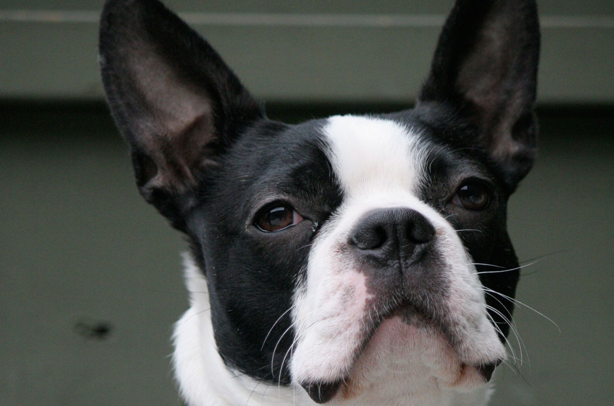 All Cars Wallpapers Backgrounds Boston Terrier Wallpapers Backgrounds