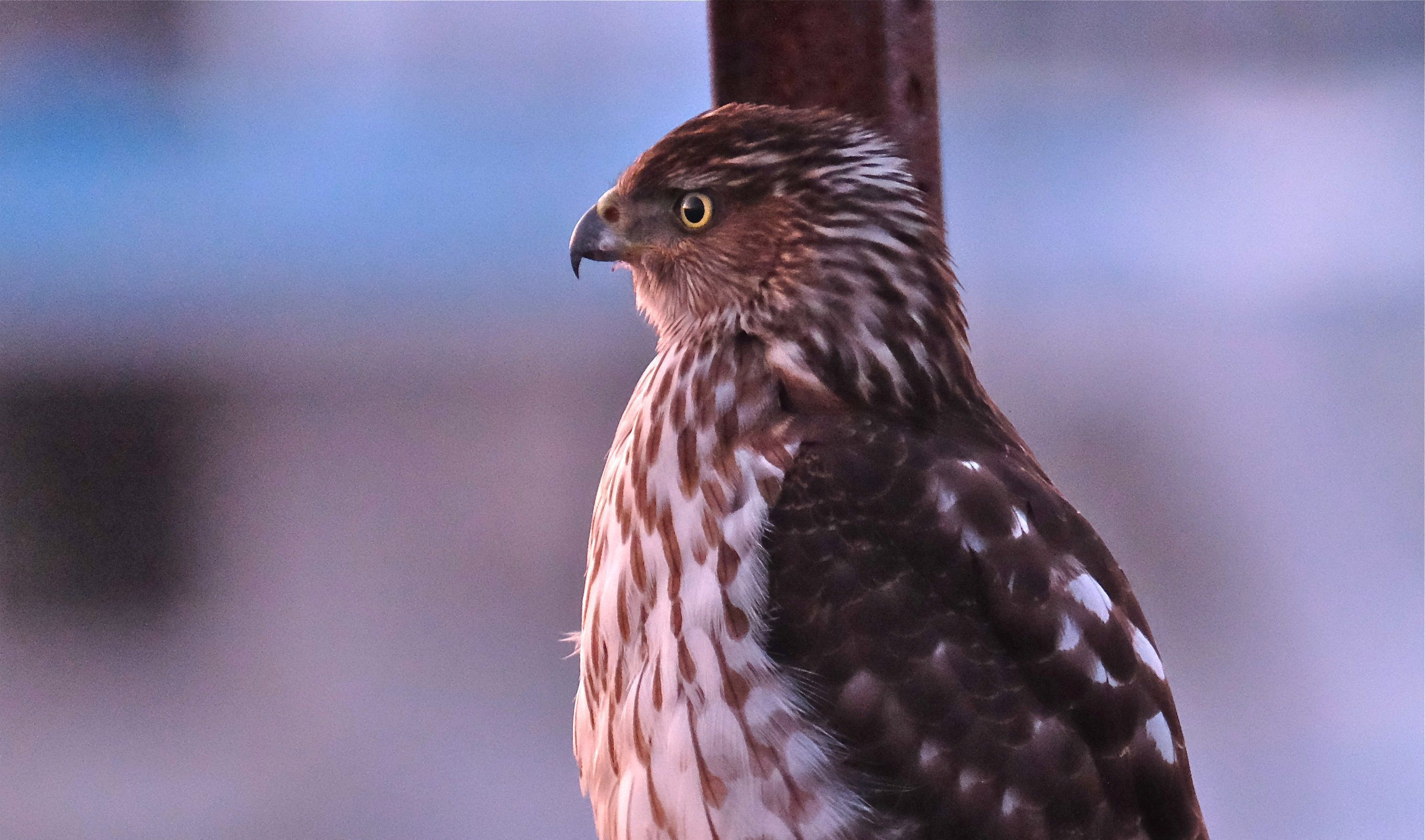 All Animals Hd Wallpapers Cooper S Hawk Wallpapers Backgrounds