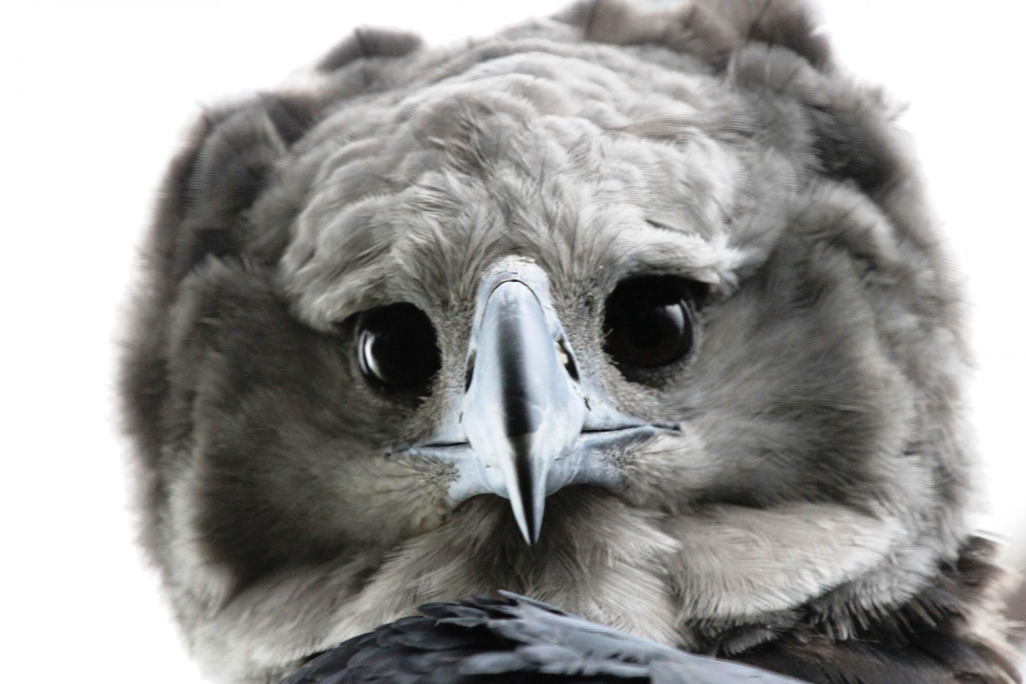 Pretty Desktop Wallpapers For Girls Harpy Eagle Wallpapers Backgrounds