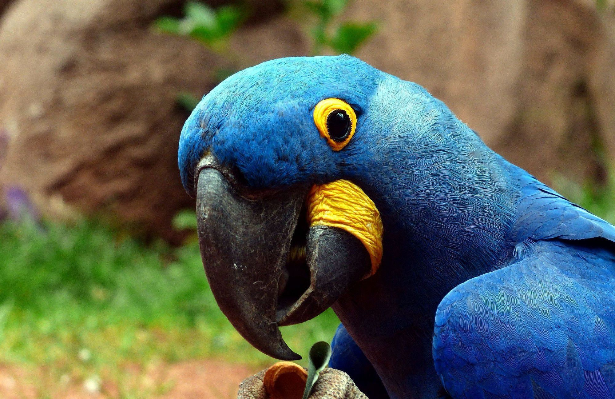Parot Wallpapers Blue Parrot Wallpapers Backgrounds