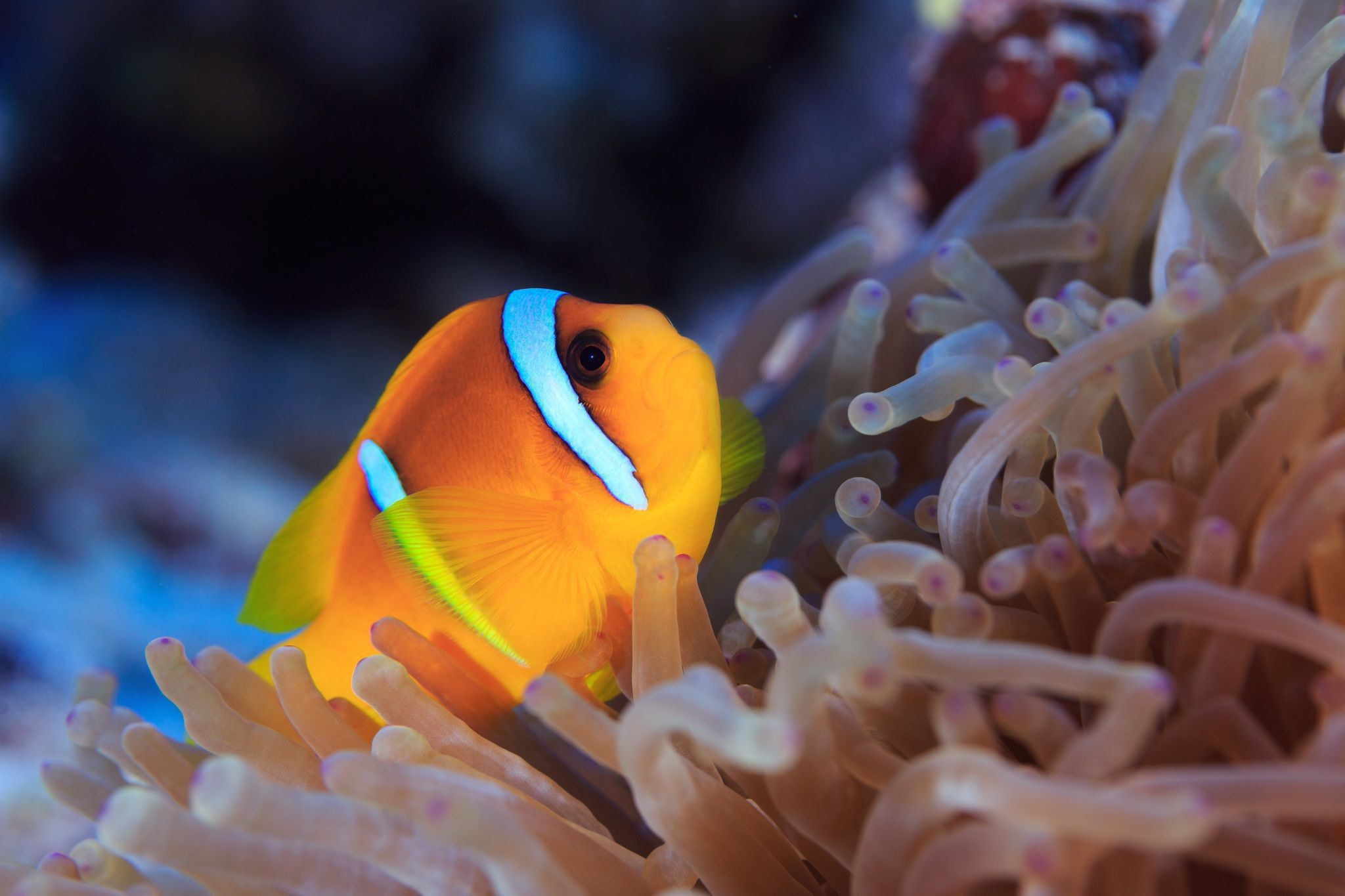 Clown Fish Hd Wallpaper Iphone 4 Clown Fish Wallpaper 61 Pictures