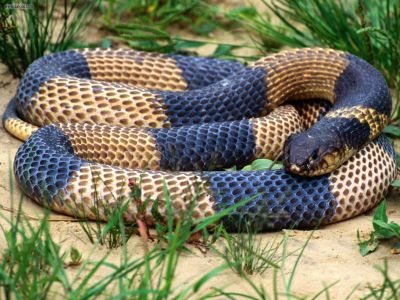 Cobra Snake Wallpapers | High Definition Wallpapers|Cool Nature Wallpapers