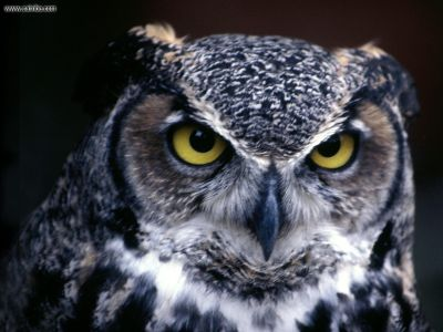 Owl Wallpapers | High Definition Wallpapers|Cool Nature Wallpapers