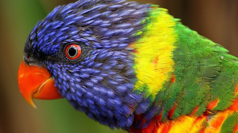 Cute Pets Wallpapers Hd Wallpaper Rainbow Parrot Beautiful Colorful Animals