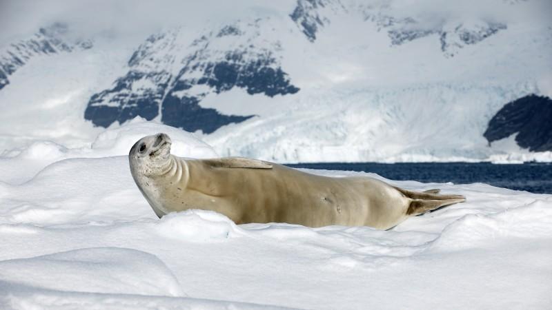 Smile Quotes Wallpaper Hd Wallpaper Crabeater Seal Sea Calf Antarctica Snow