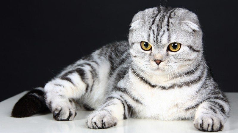 Cute Cat Hd Wallpaper Download Wallpaper Scottish Fold Cat Kitten Eyes Gray Wool