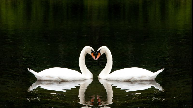 So Cute Couple Wallpaper Wallpaper Swan Couple Lake Cute Animals Love Animals
