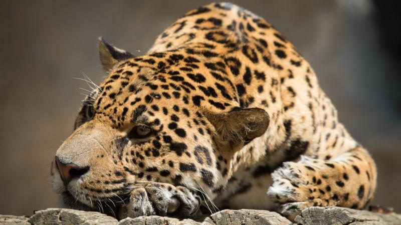 Cute Cat Wallpaper For Iphone Wallpaper Jaguar Wild Cat Sad Face Animals 10303