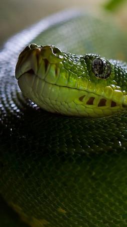 Snake Eyes Hd Wallpapers Wallpaper Snake Green Reptile Eyes Animals 713