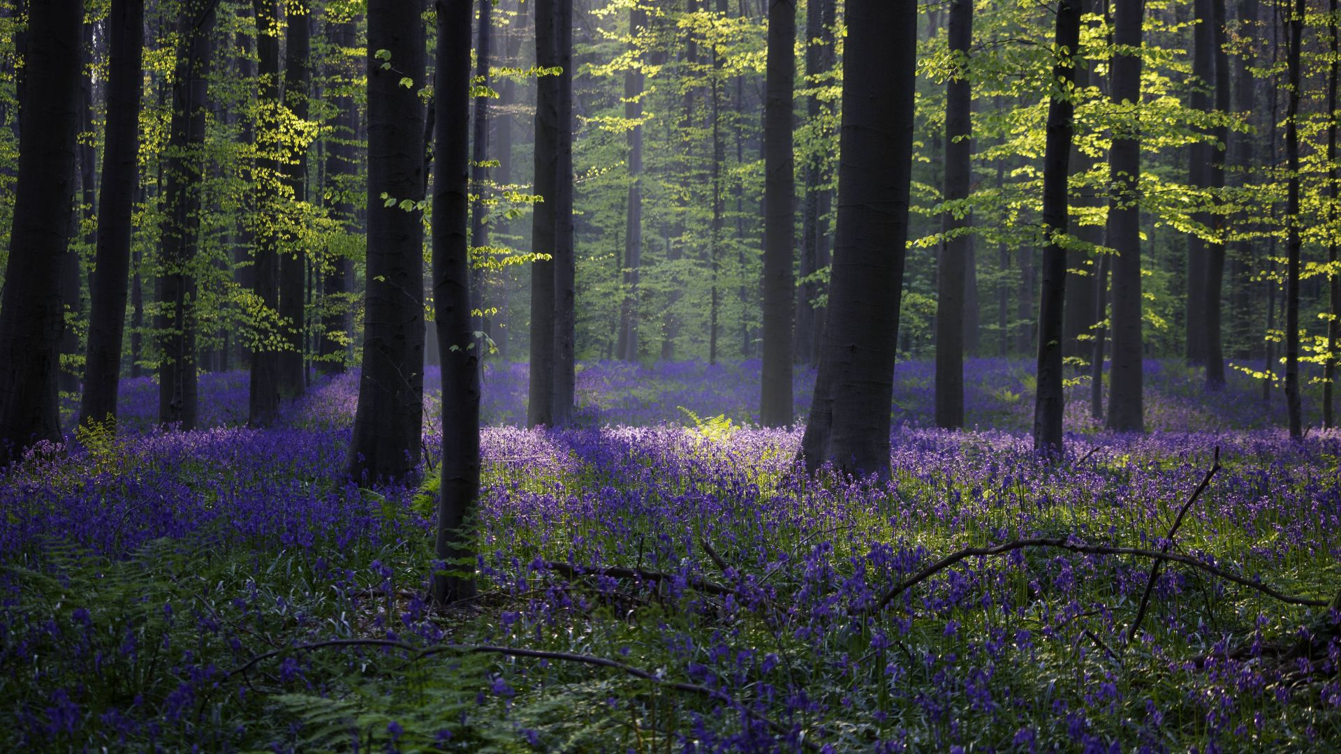 Early Fall Hd Wallpaper Wallpaper Forest Bluebell Sunlight Spring Halle