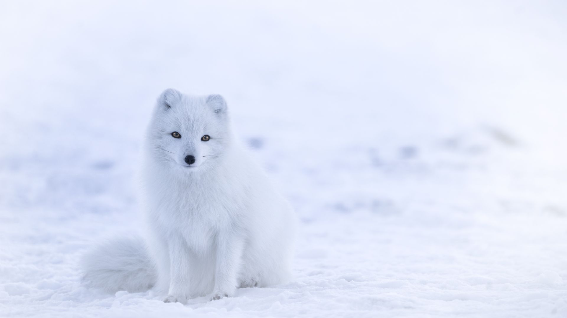Cute Dog Iphone Wallpaper Wallpaper Arctic Fox Cute Animals Winter Snow White