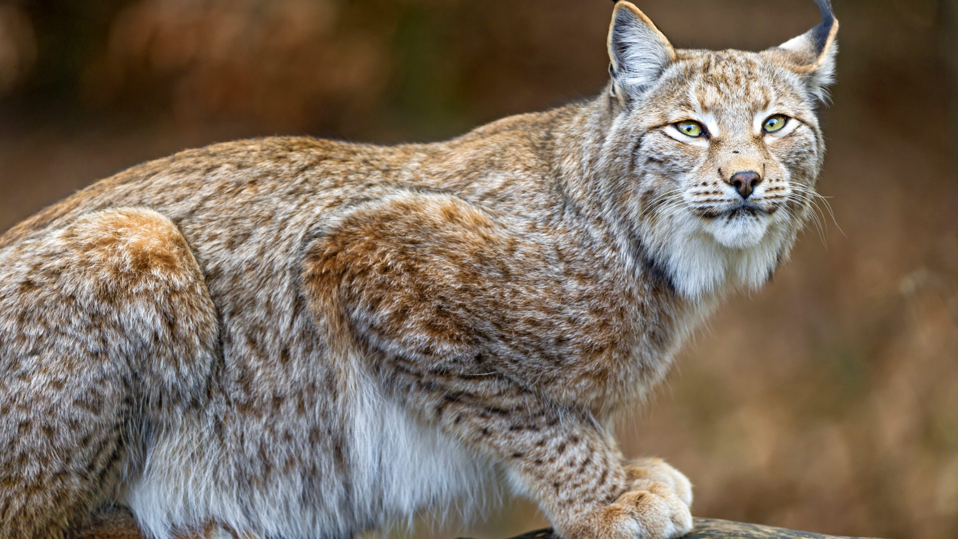 Cute Cats Wallpaper With Quotes Wallpaper Lynx World S Dangerous Animals Predator
