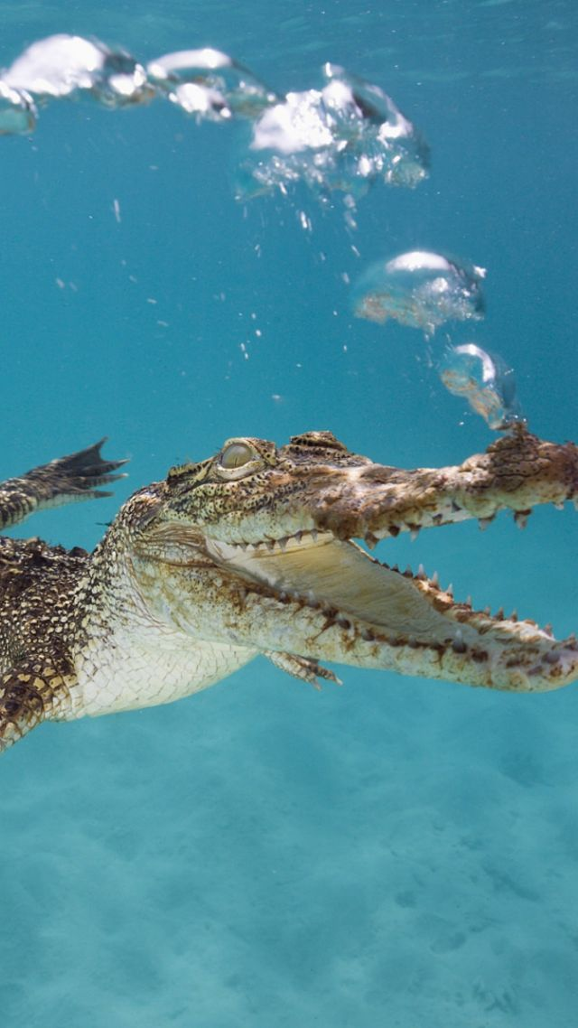 Hd Wallpapers For Pc With Quotes Wallpaper Crocodile Calf Swim Underwater Bubbles