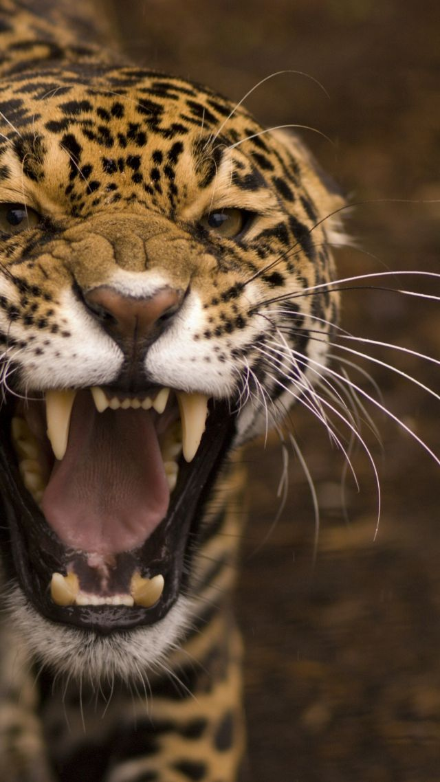 Retro Car Home Wallpaper Wallpaper Jaguar Wild Cat Face Teeth Rage Anger