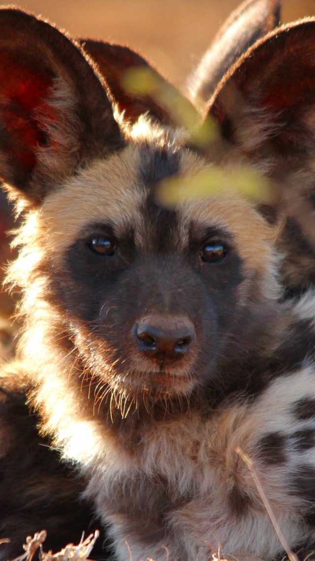 Cute Dog Wallpapers With Quotes Wallpaper Wild Dog Look Eyes Predator Fur Nature