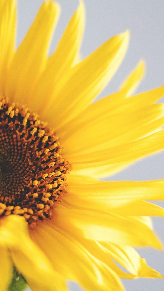 Iphone 5 Wallpaper Hd Star Wars Wallpaper Sunflower 5k 4k Wallpaper Yellow Nature 12582