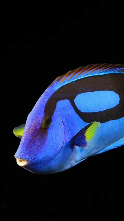 Wallpaper Surgeonfish, water, aquarium, reef animals, blue ...