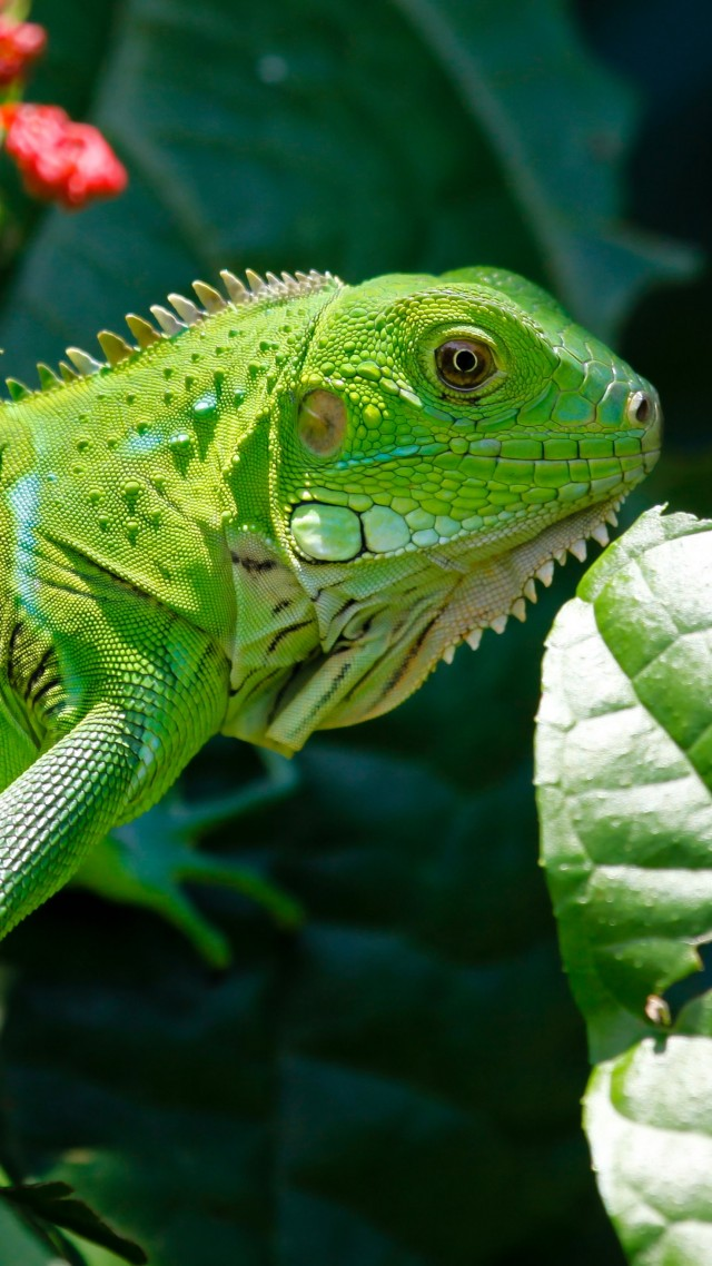 Hd Wallpapers For Pc Quotes Wallpaper Iguana Reptiles Green Aimal Flowers Eyes