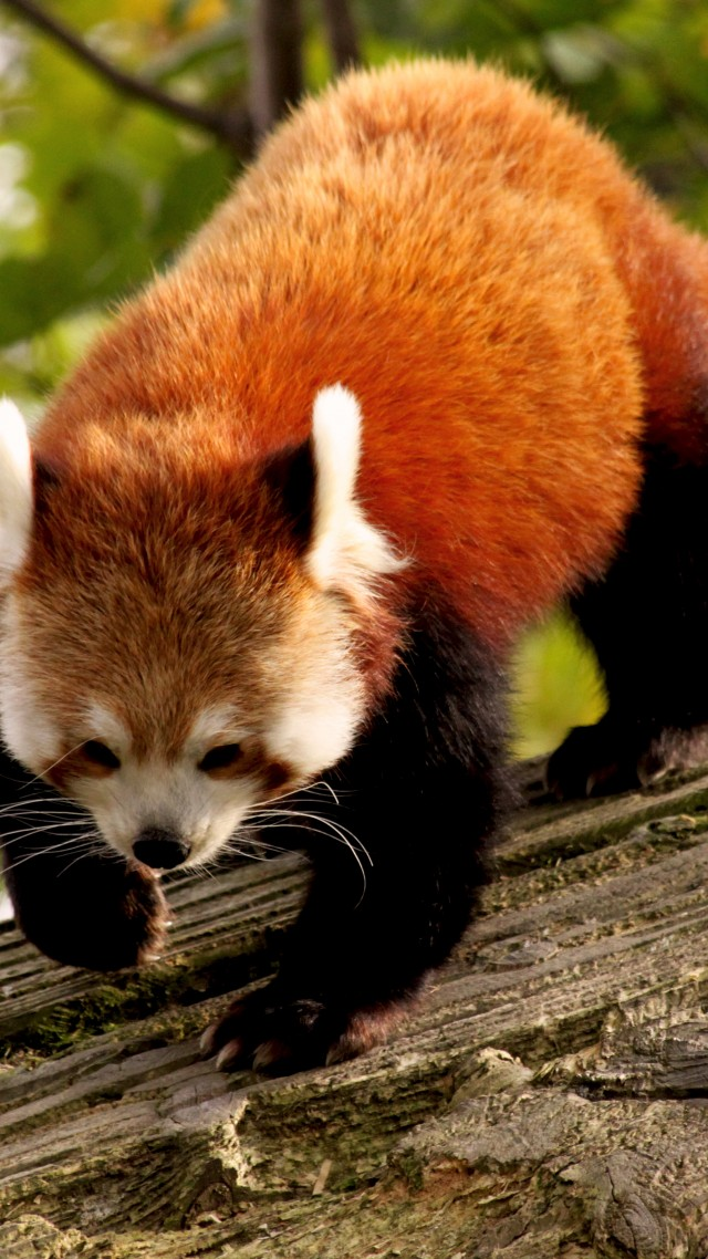 Into The Wild Quotes Wallpaper Wallpaper Red Panda Animal Nature Branch Green Fur