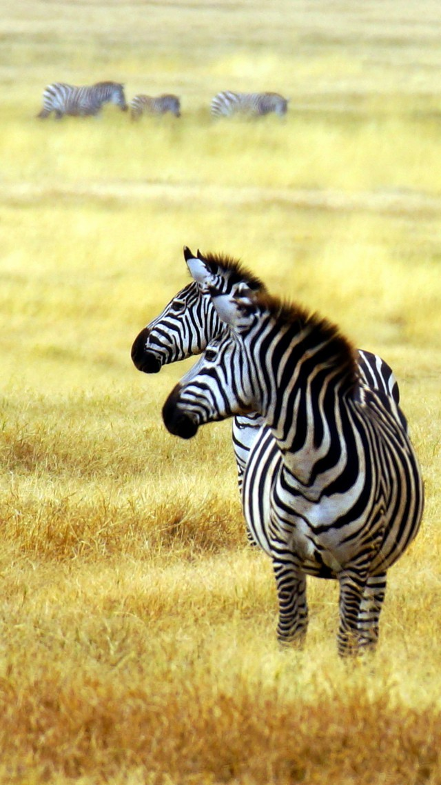 Couple Wallpaper Hd With Quotes Wallpaper Zebra Savanna Cute Animals Animals 4525