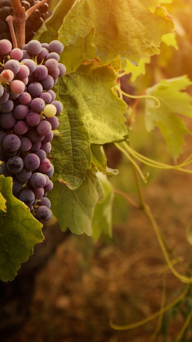 Red And White Car Wallpaper 1920x1080 Wallpaper Red Grapes Leaves Bunch Food 821