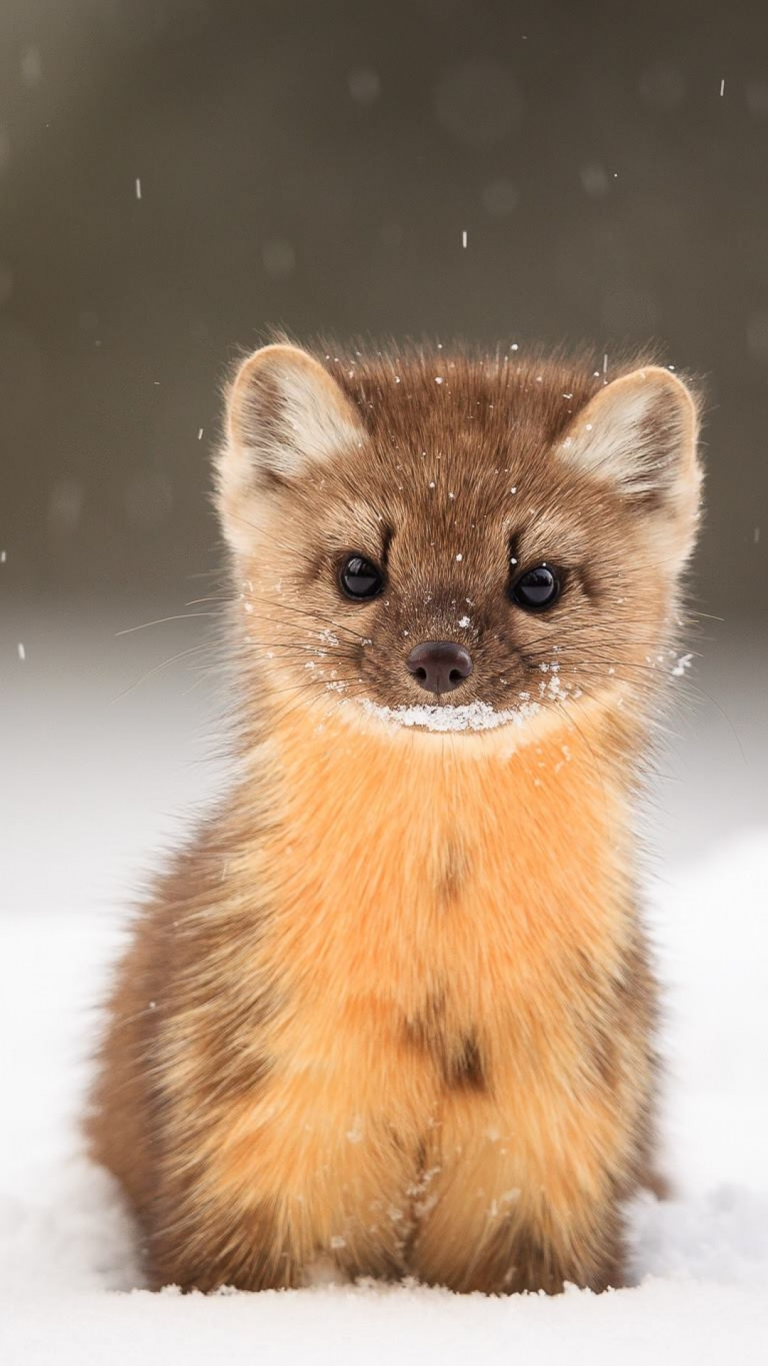 Nature Wallpaper With Love Quotes Wallpaper American Marten Snow Cute Animals Hd Animals