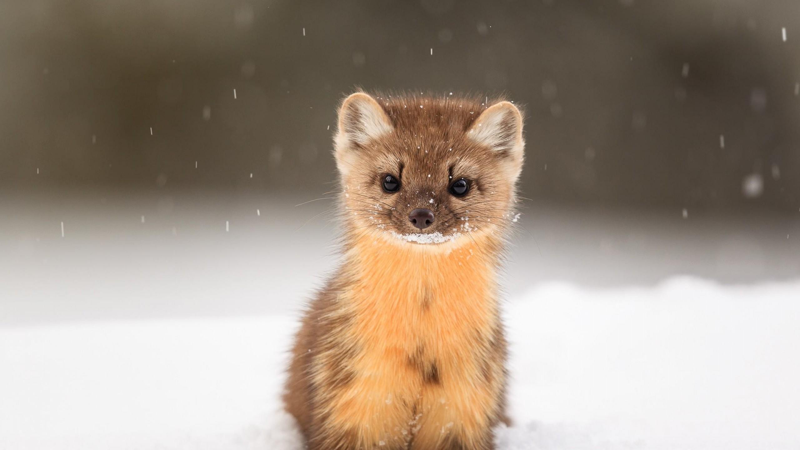 Into The Wild Quotes Wallpaper Wallpaper American Marten Snow Cute Animals Hd Animals