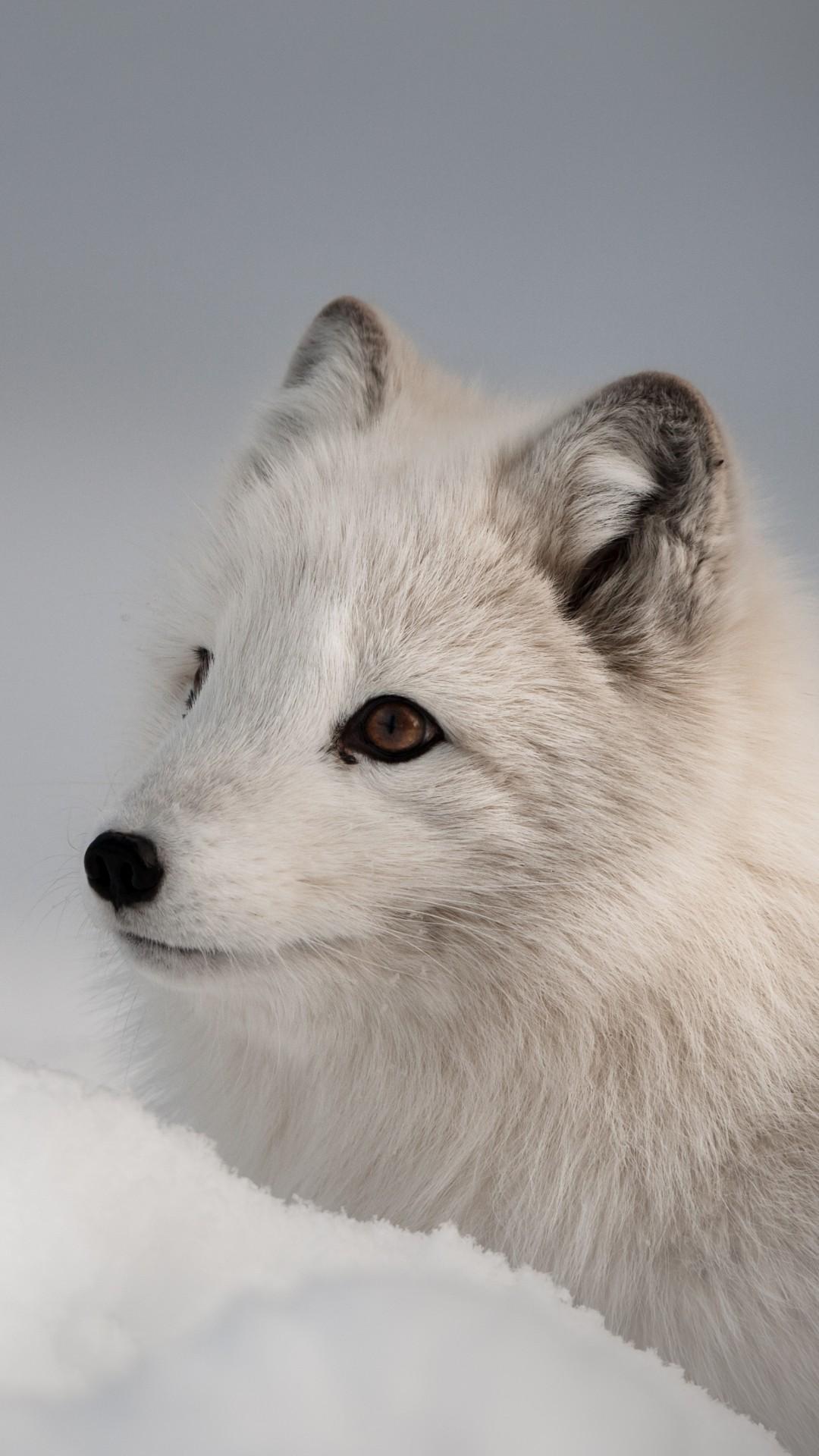 Cute Grey Wallpaper Wallpaper Arctic Fox Northern Hemisphere Animal Animals