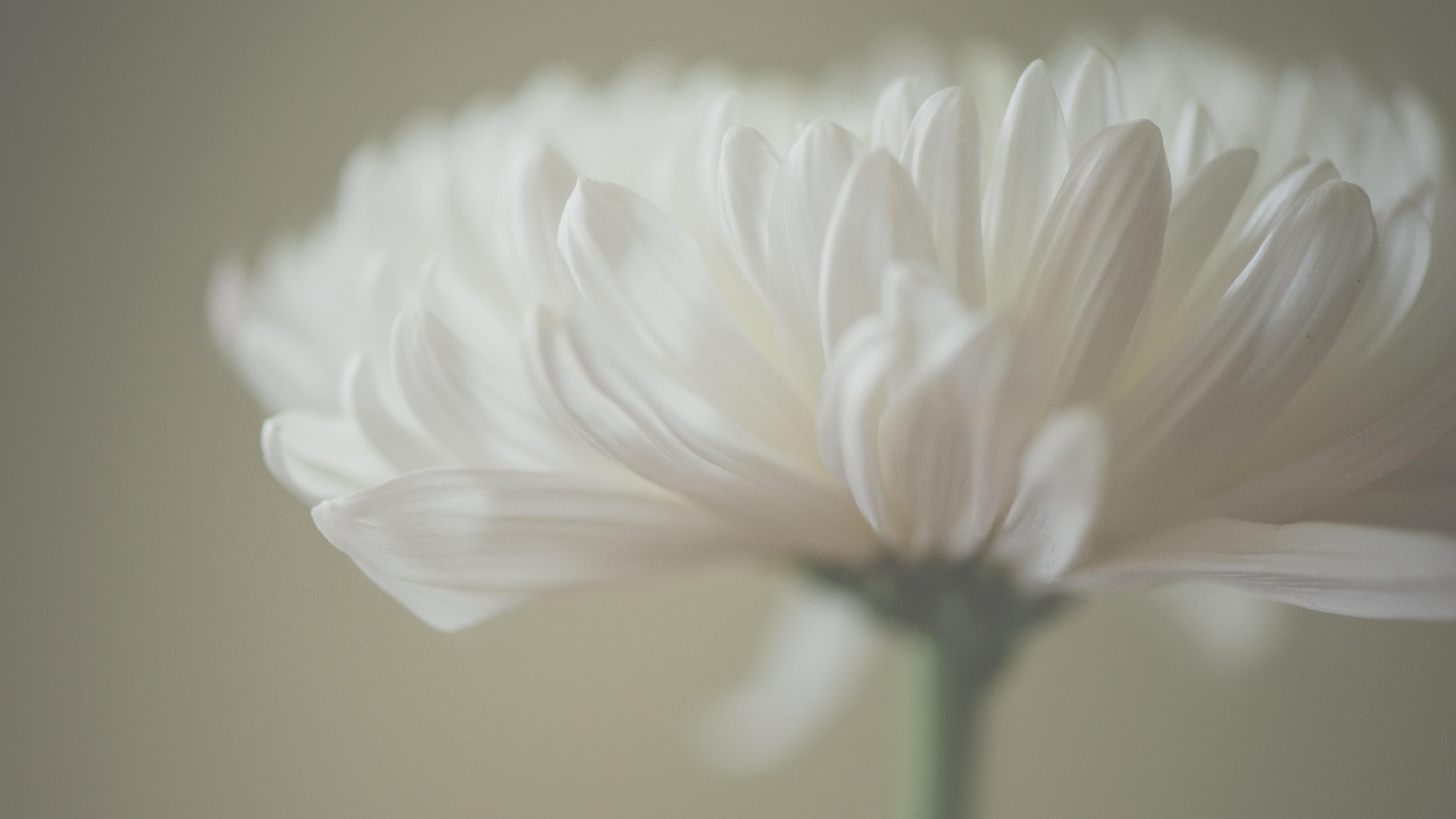 Live Wallpaper For Iphone X Wallpaper Aster 5k 4k Wallpaper Macro Petals White
