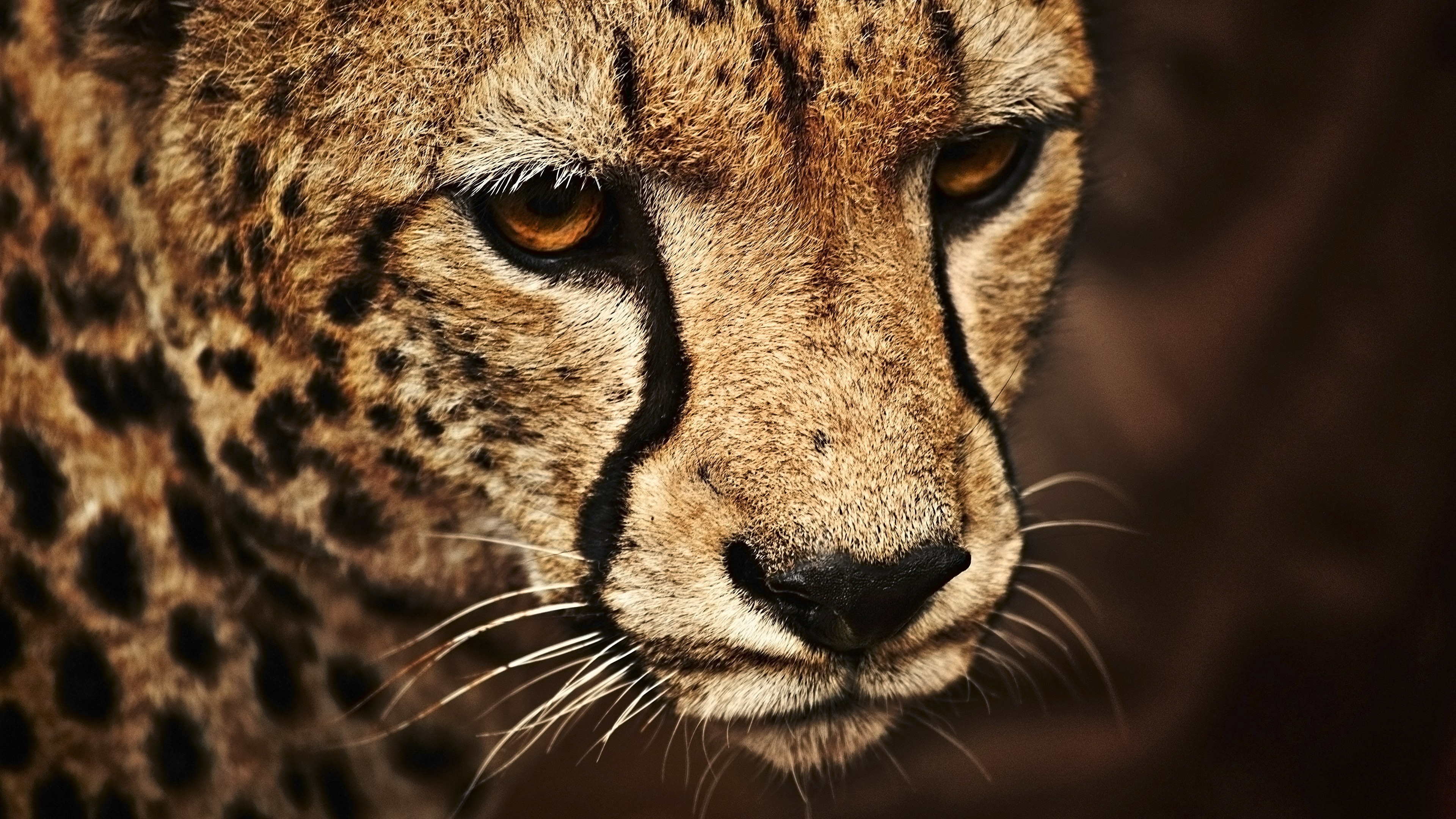 Best Hd Wallpapers Of Cars For Pc Wallpaper Cheetah Look Cute Animals Animals 5374