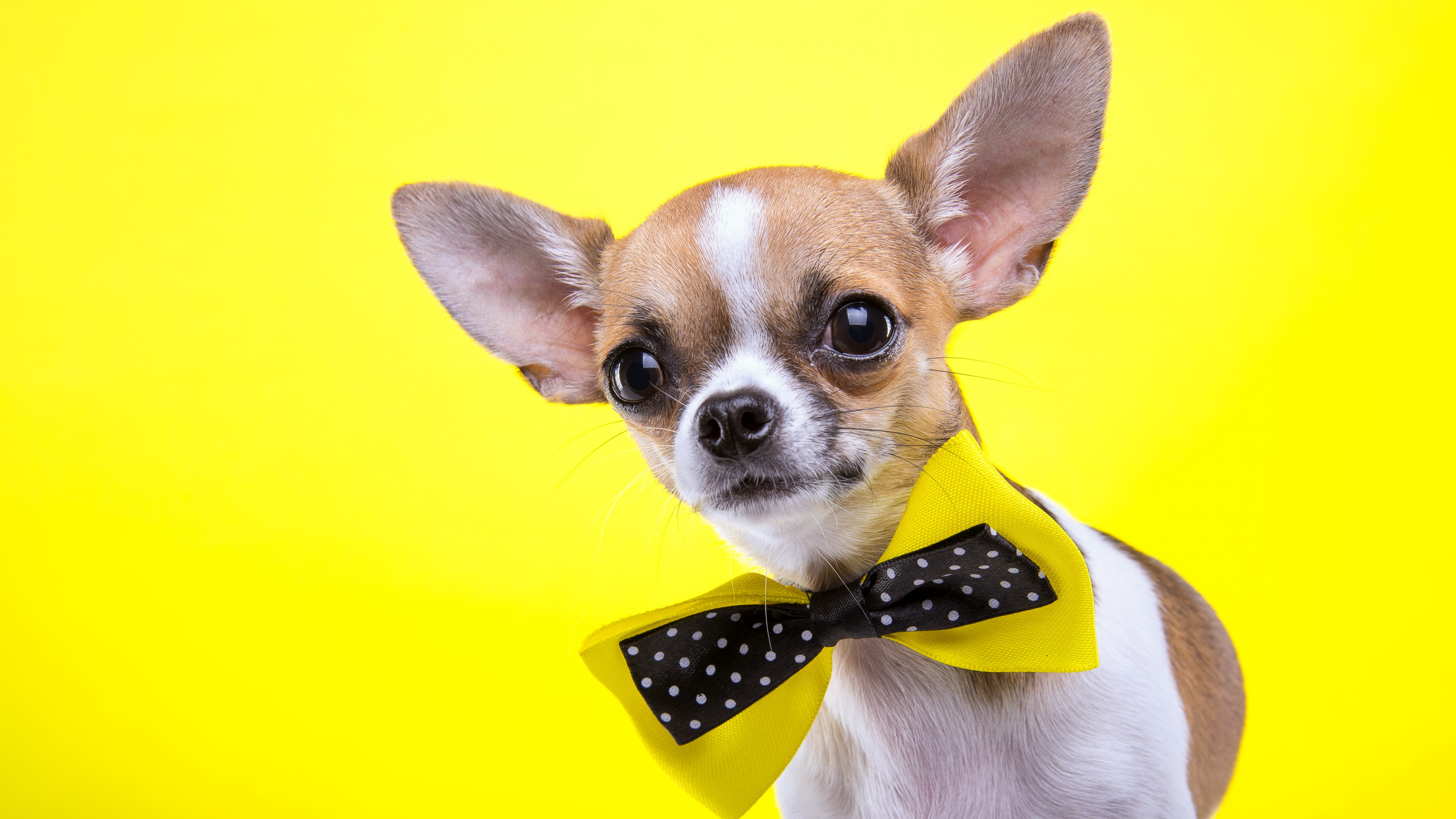 Beautiful Quotes Wallpaper For Facebook Wallpaper Chihuahua Dog Cute Animals Yellow 5k