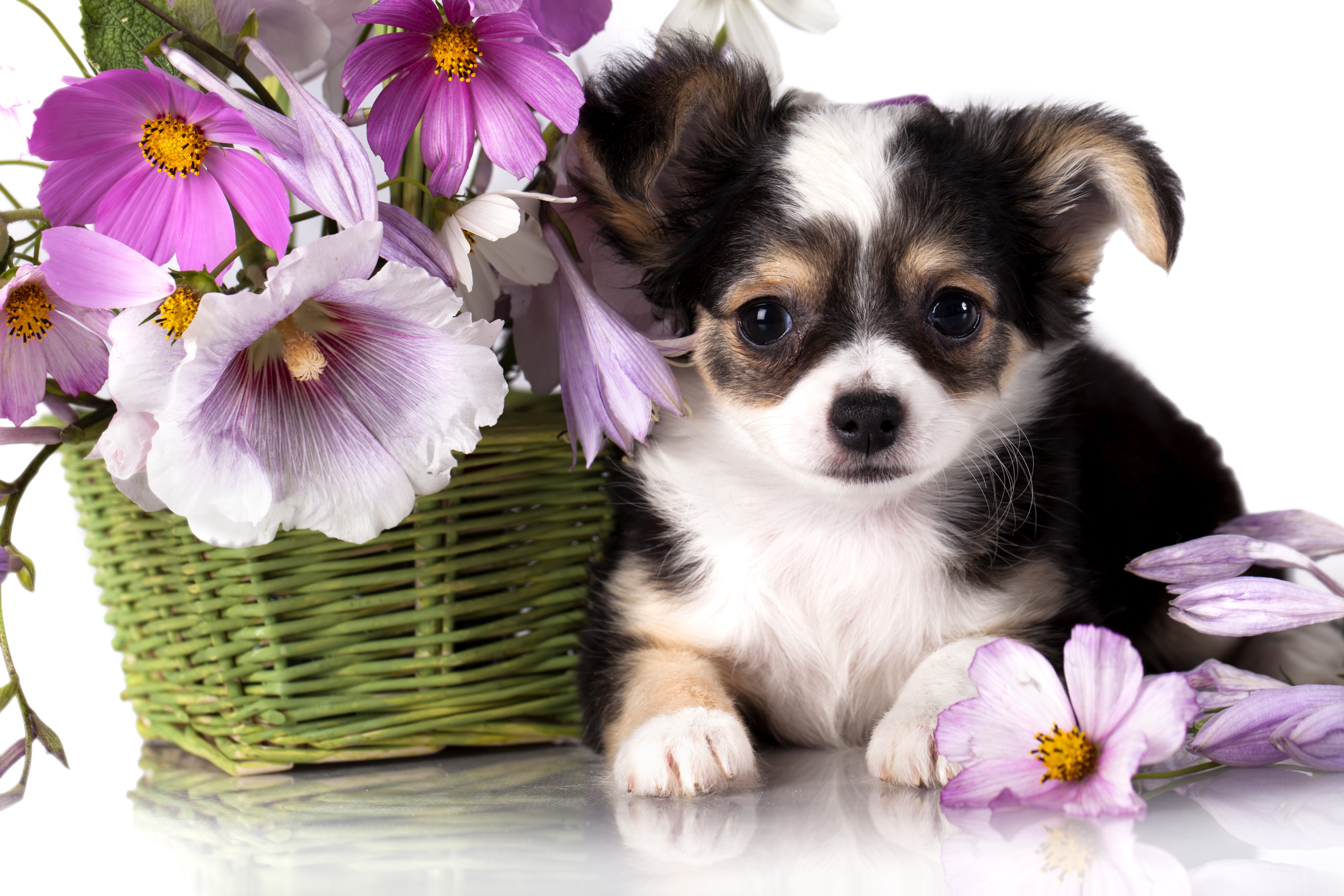 Cute Kitten Wallpapers For Phone Wallpaper Chihuahua Puppy Dog Flower Animal Animals 3861