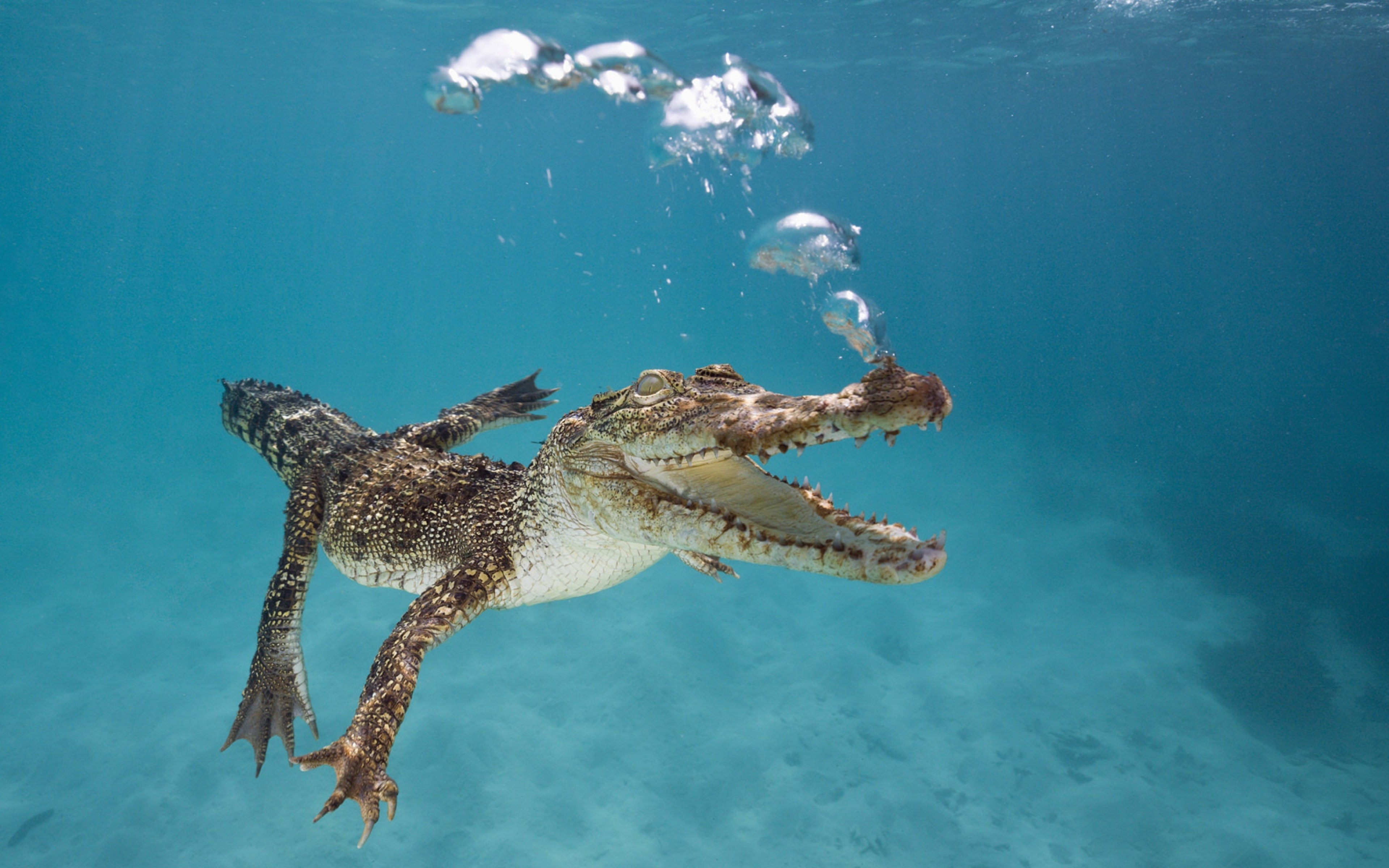 Images Of Cute Wallpapers For Phone Wallpaper Crocodile Calf Swim Underwater Bubbles
