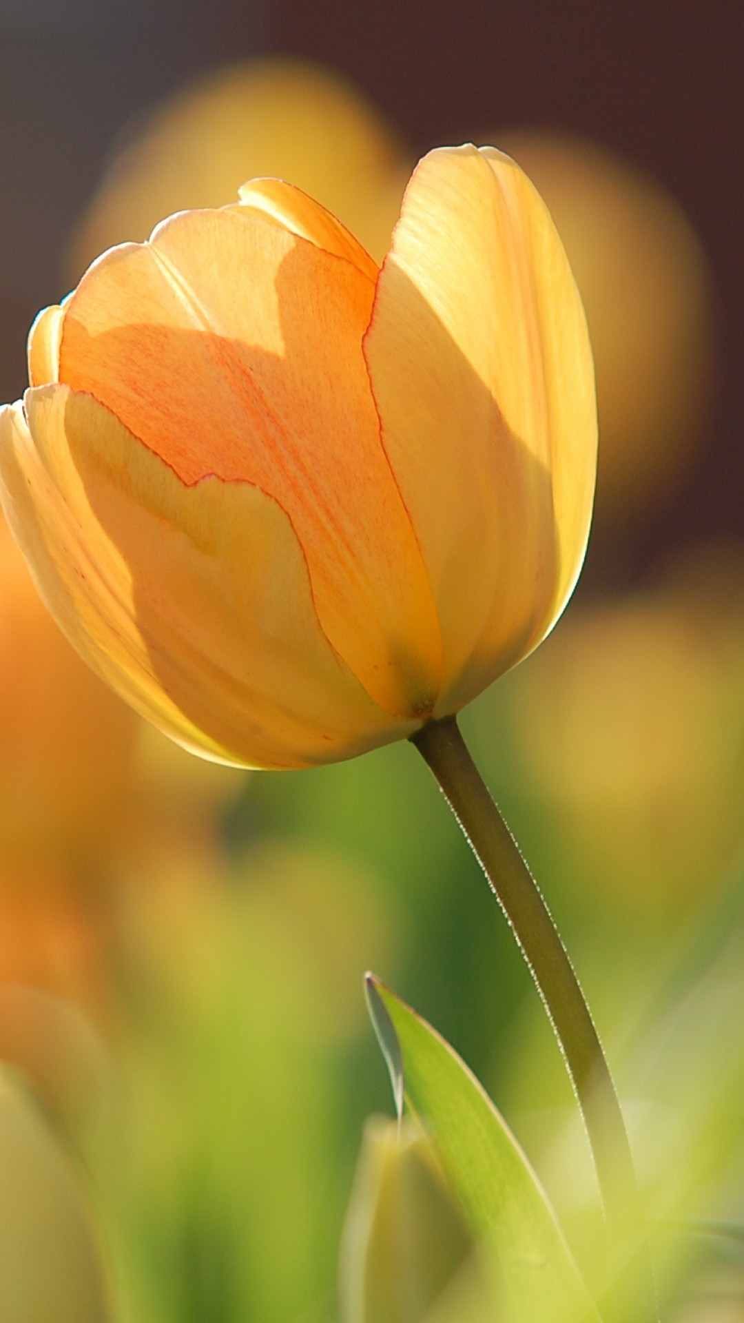 Wallpapers Philosophy Quotes Stock Images Flowers Tulips Yellow Spring Hd Stock