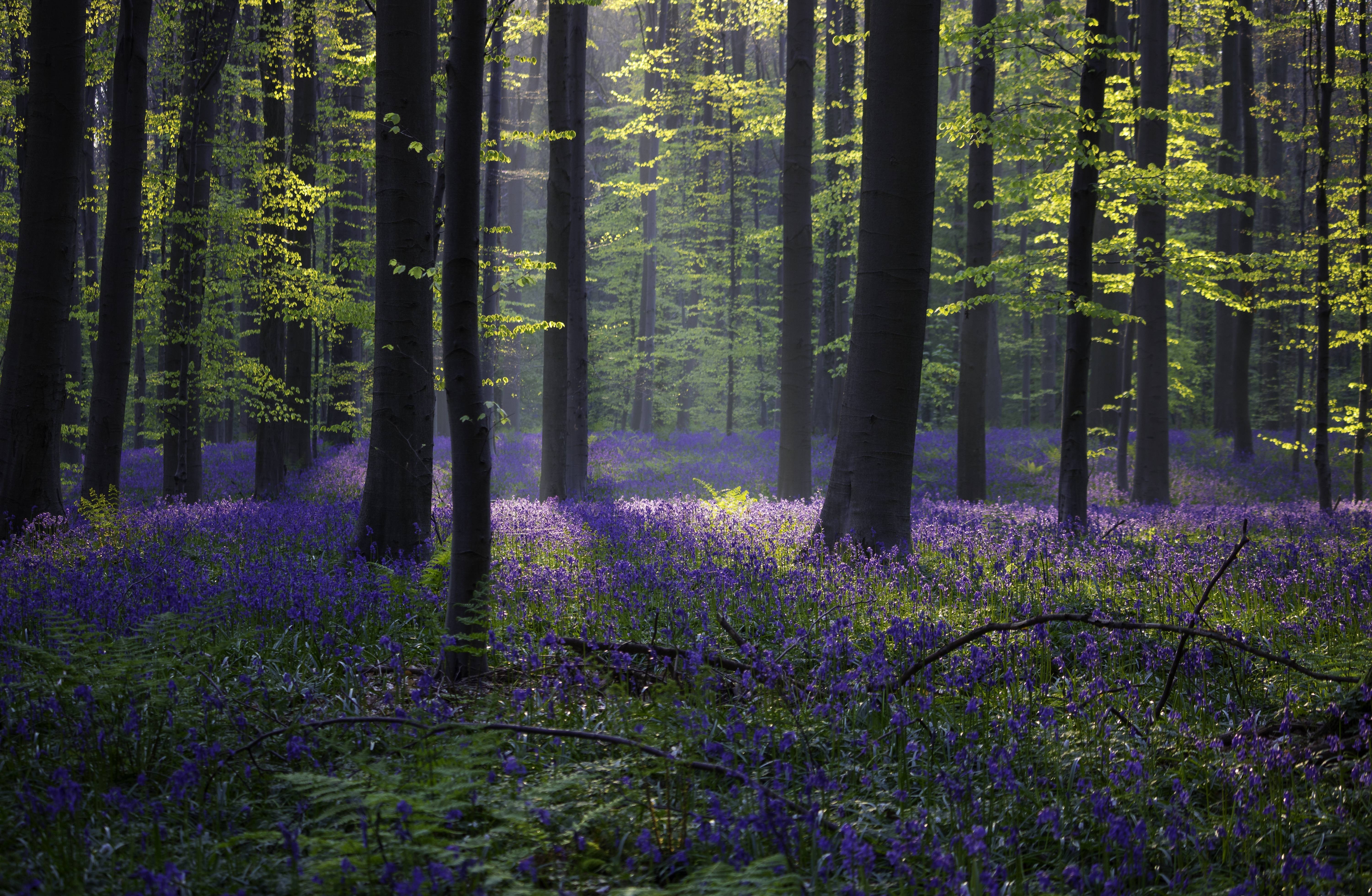 Fall Woodsy Pc Wallpaper Wallpaper Forest Bluebell Sunlight Spring Halle