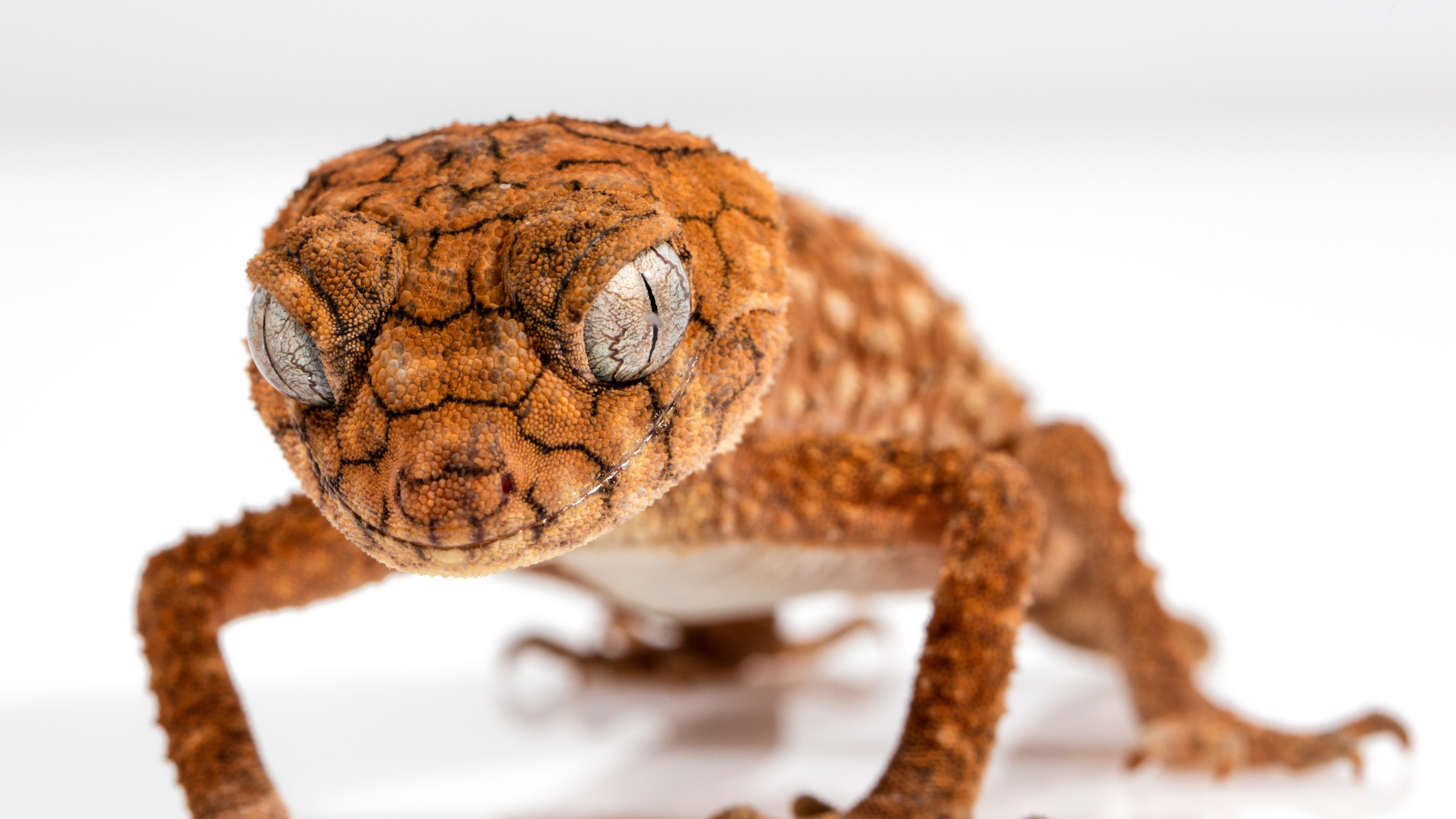 Desktop Wallpaper Quotes Pinterest Wallpaper Gecko Caledonian Crested Gecko Reptile Lizard