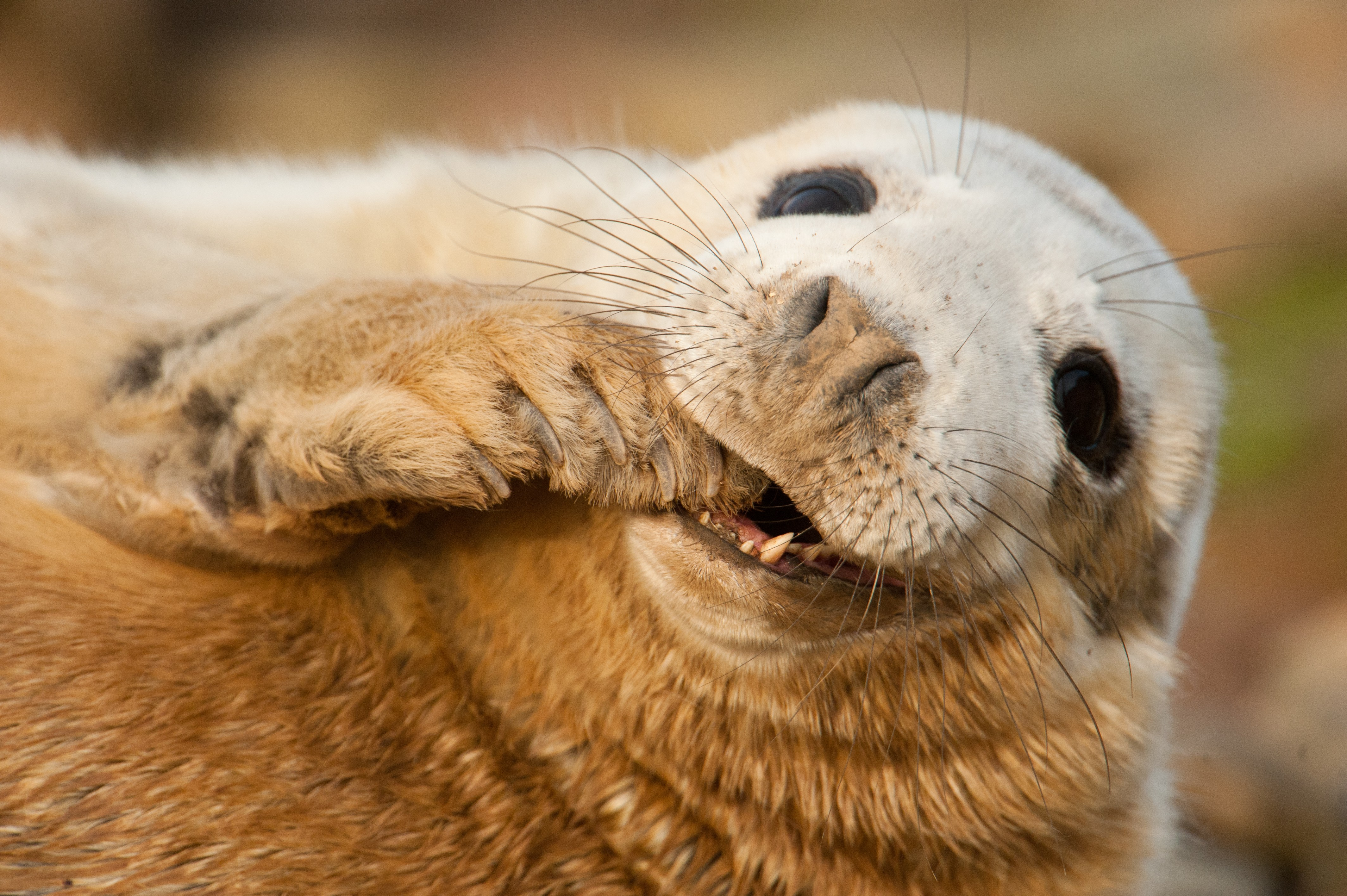 Cute Wallpapers Quotes For Girls Wallpaper Grey Seal Scotland Sable Island Funny Teeth