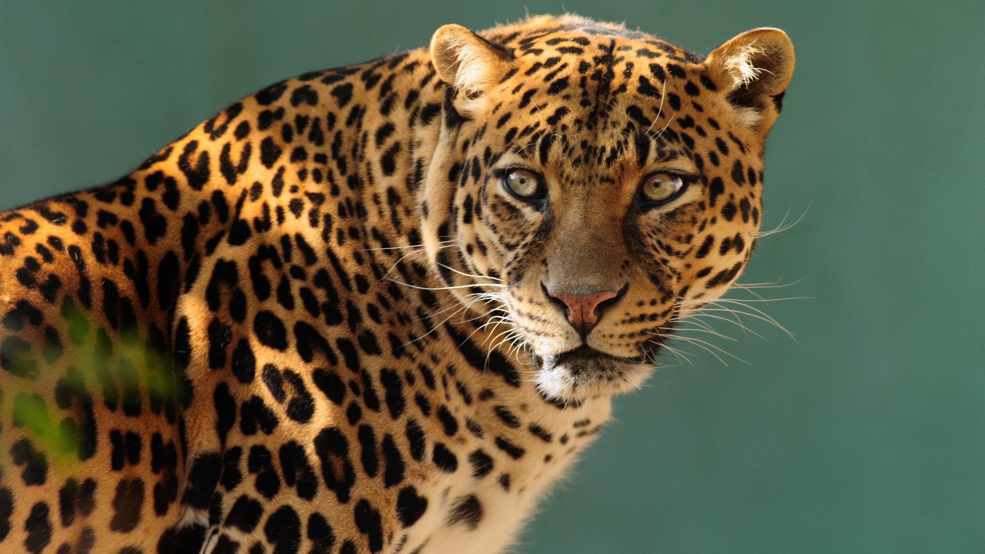 Jaguar Animal Wallpaper Wallpaper Jaguar Wild Cat Face Animals 10237