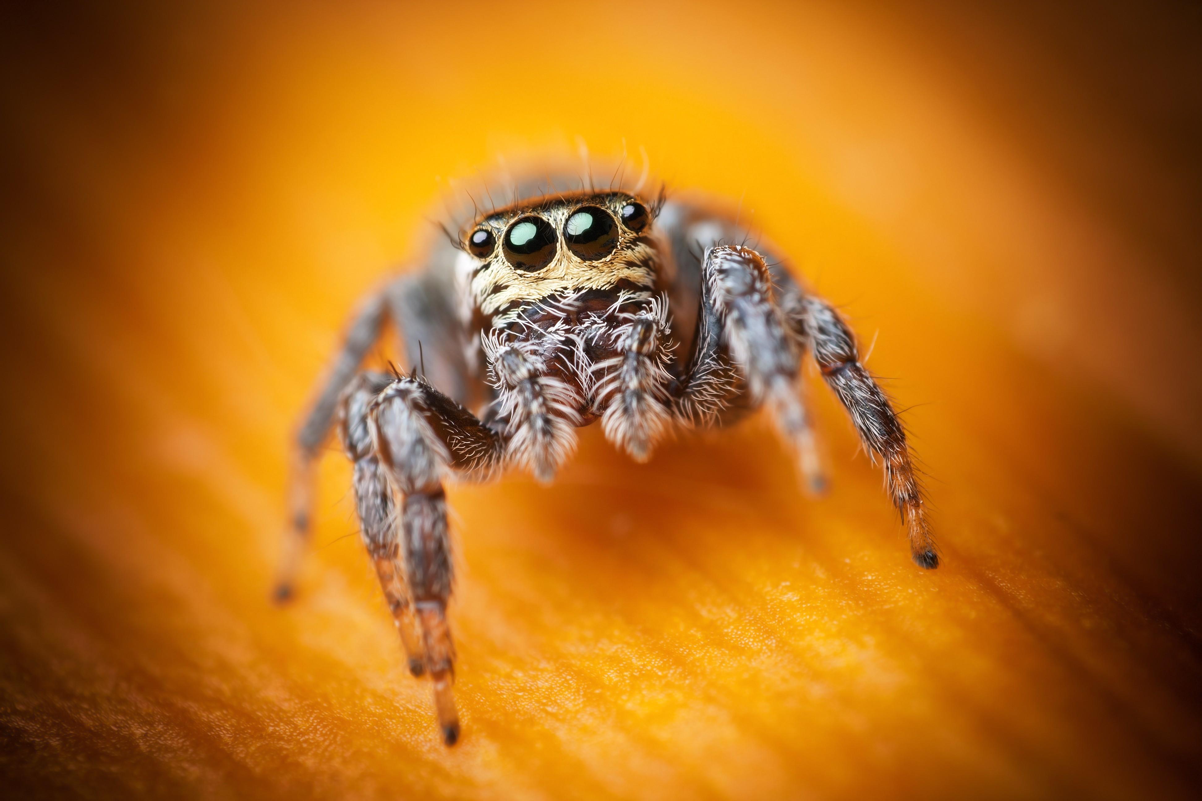 Custom Iphone X Wallpaper Wallpaper Jumping Spider Macro Black Eyes Yellow