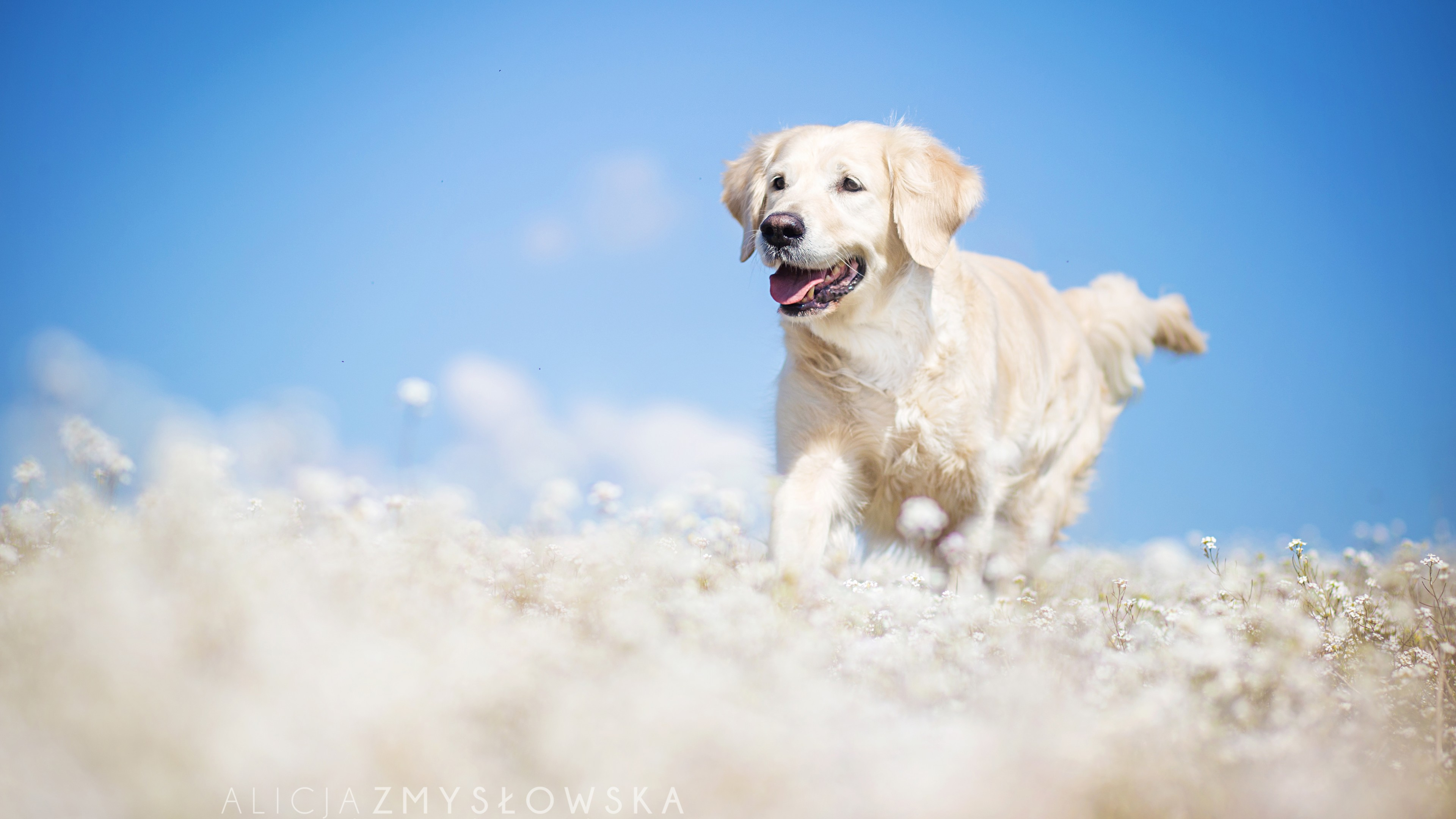 Funny Hd Quotes Wallpapers Wallpaper Labrador Dog Field Cute Animals Funny