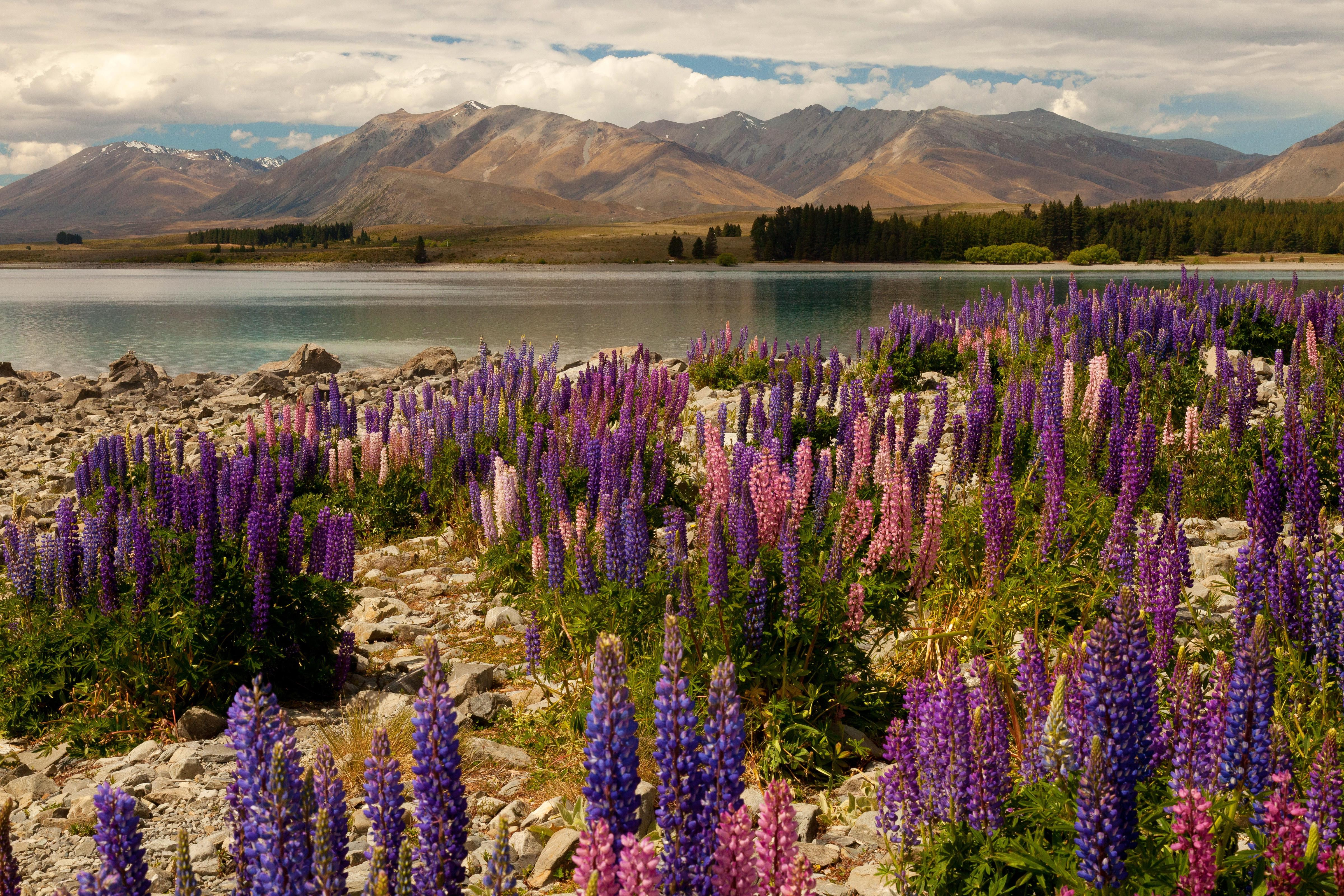 Fall With Water Wallpaper Hd Wallpaper Lavander 5k 4k Wallpaper Lake Tekapo South