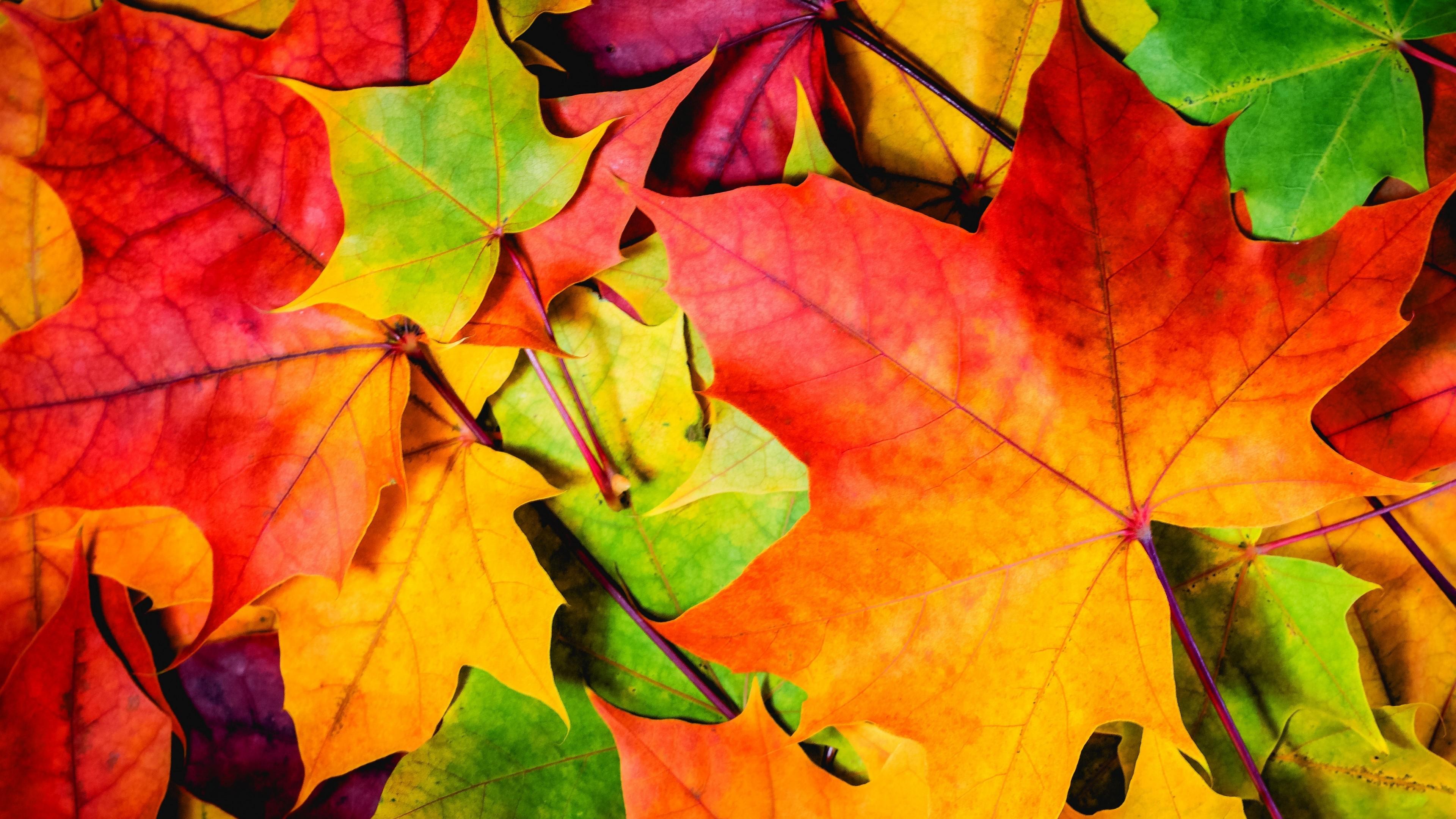 Hd Thanksgiving Wallpaper Free Wallpaper Leaves 5k 4k Wallpaper 8k Colorful Autumn