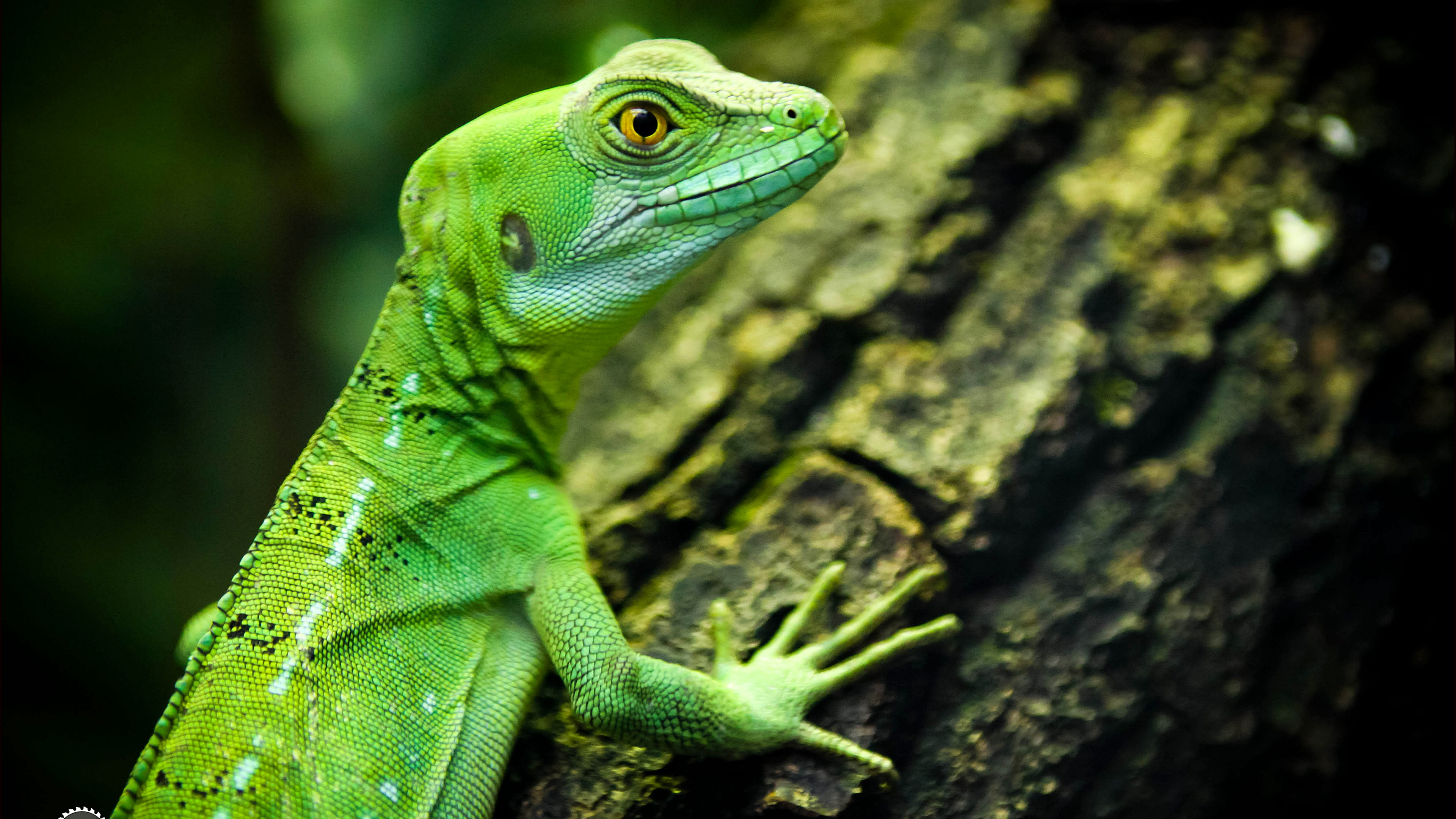Cute Nature Wallpapers With Quotes Wallpaper Lizard Close Up Green Eyes Reptilies
