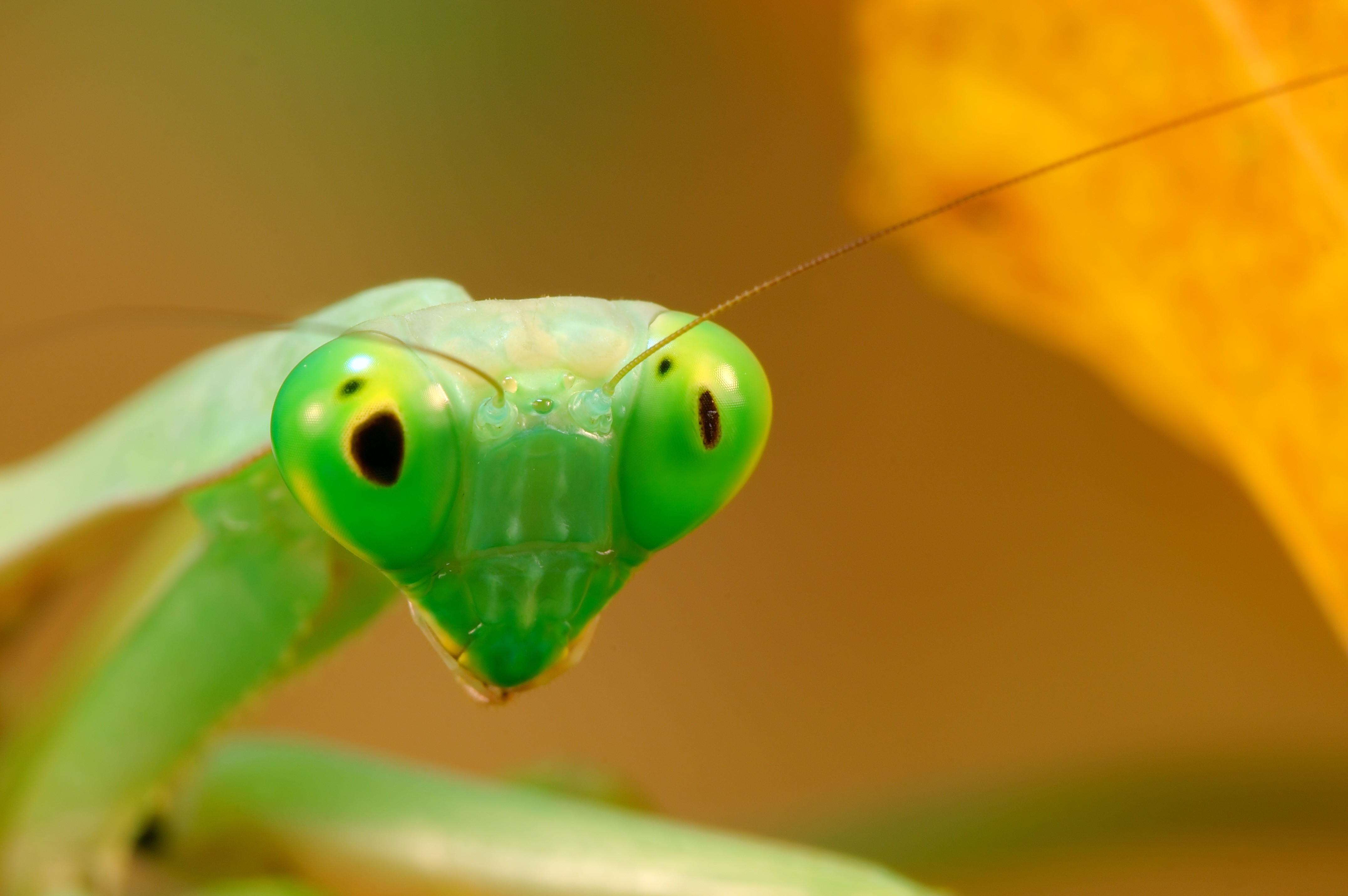 Snake Eyes Hd Wallpapers Wallpaper Mantis Green Animals 9966